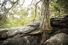 Raíces del pino en roca Imagen de archivo libre de regalías
