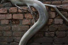 Raíces del primer de la pared del apretón de los árboles Foto de archivo