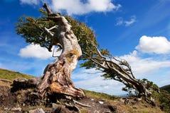 Raíces descubiertas en un árbol de haya muy viejo y un cielo azul Imagen de archivo libre de regalías