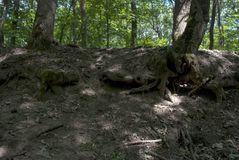 Raíces desnudas de dos árboles Foto de archivo libre de regalías