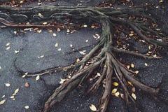 Raíces en el pavimento foto de archivo libre de regalías