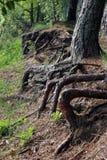 Raíces enormes de los árboles que se pegan fuera de la tierra en la orilla del lago imágenes de archivo libres de regalías