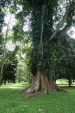 Raíces enormes de un árbol Fotos de archivo