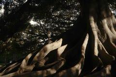 Raíces enormes del árbol fotos de archivo
