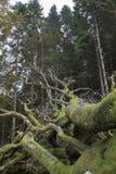Raíces expuestas de un árbol muerto fotografía de archivo libre de regalías