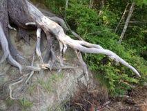 Raíces expuestas del árbol Fotos de archivo