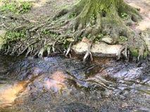 Raíces fuertes del árbol grande que crecen el río cercano en bosque Fotos de archivo libres de regalías