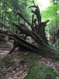 Raíces gigantes de un árbol caido en el bosque imagen de archivo