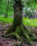 Raíces grandes de los árboles con el musgo Imagen de archivo libre de regalías
