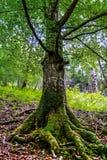 Raíces grandes de los árboles con el musgo Foto de archivo
