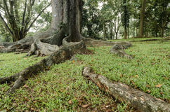 raíces grandes del árbol imagenes de archivo