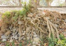 Raíces grandes del árbol y piedras grandes en parque nacional tropical cerca del ro Imagen de archivo