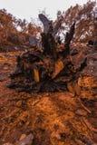 Raíces grandes del roble destruidas por el fuego Fotografía de archivo