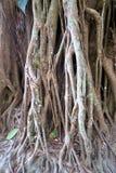 Raíces grandes en el bosque, Tailandia Fotos de archivo