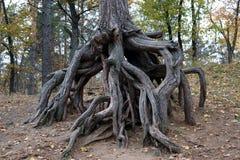 Raíces inusuales de un árbol viejo grande imagen de archivo