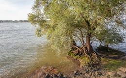 Raíces llamativas de un sauce en el borde de un río ancho Imagen de archivo