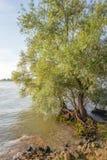 Raíces llamativas de un sauce en el borde de un río ancho Foto de archivo