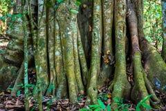 Raíces o troncos grandes del árbol en el parque nacional Periyar de la selva tropical salvaje imagenes de archivo