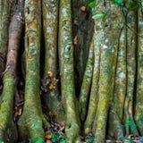Raíces o troncos grandes del árbol en el parque nacional Periyar de la selva tropical salvaje Imágenes de archivo libres de regalías