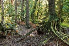 Raíces que estrangulan en el bosque Fotos de archivo