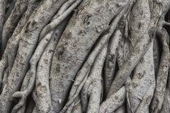 Raíces textura y fondo del árbol Textura de la corteza fotografía de archivo libre de regalías