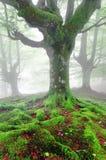 Raíces torcidas del árbol con el musgo en bosque Fotos de archivo libres de regalías