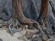 Raíces y cantos rodados del árbol imagen de archivo libre de regalías