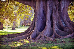 Raíces y tronco de una higuera gigante Fotos de archivo