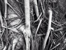 raíz Fotografía de archivo libre de regalías