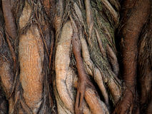 Raíz asombrosa del árbol Foto de archivo libre de regalías