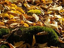 Raíz cubierta de musgo del árbol entre las hojas de oro del otoño fotografía de archivo libre de regalías