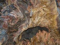 Raíz de 250 años caidos del eucalipto foto de archivo libre de regalías