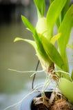 Raíz de la orquídea Imágenes de archivo libres de regalías