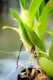 Raíz de la orquídea Foto de archivo