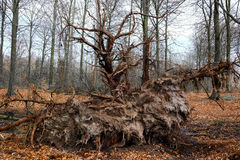 Raíz de un árbol caido Imagen de archivo libre de regalías