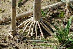 Raíz de una planta de maíz imagen de archivo