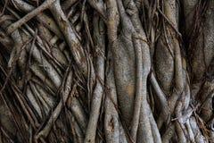 Raíz del árbol Fotografía de archivo