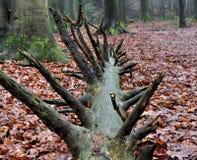 Raíz del árbol caido Imagen de archivo libre de regalías