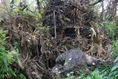 Raíz del árbol caido Una corriente pantanosa en la madera de pino Imágenes de archivo libres de regalías