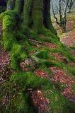 Raíz del árbol con el musgo verde Fotos de archivo