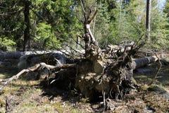 Raíz del árbol con las piedras Imágenes de archivo libres de regalías
