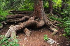 Raíz del árbol de pino Imagen de archivo libre de regalías