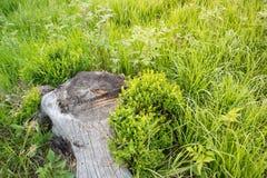 Raíz del árbol en la hierba Foto de archivo