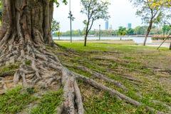 Raíz del árbol en parque público imágenes de archivo libres de regalías