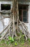 Raíz del árbol gigante Fotos de archivo