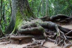 Raíz del árbol grande Foto de archivo