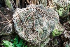 raíz del árbol grande que cuelga la piedra en bosque Foto de archivo libre de regalías