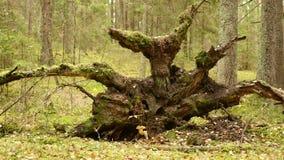 Raíz del árbol quebrado en el d3ia de Forest Autumn Tiro liso del carro almacen de metraje de vídeo