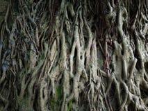 Raíz del aire del árbol Foto de archivo