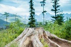 raíz del pino Imagen de archivo libre de regalías